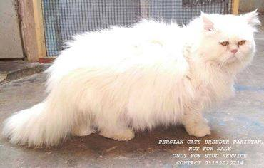 Mating Service   PERSIAN CATS BREEDER